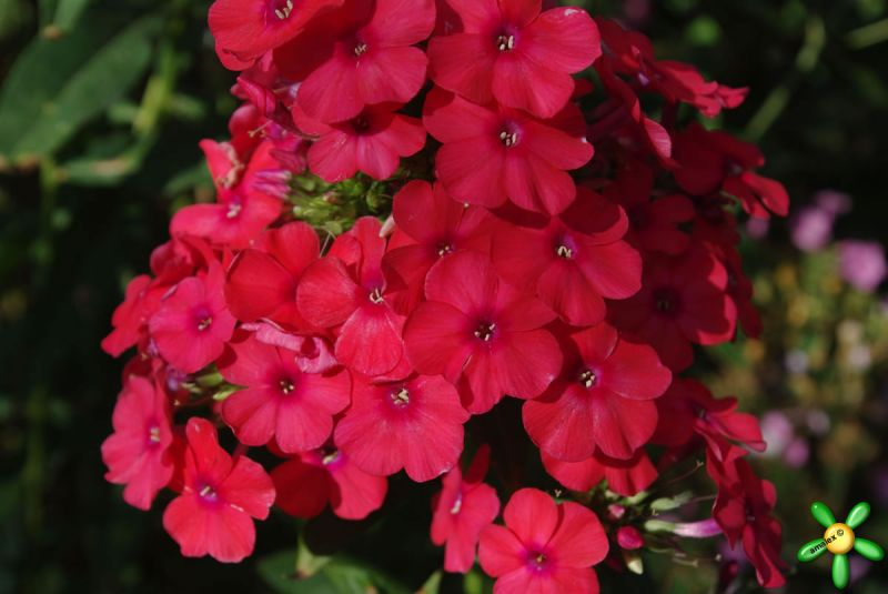 Флокс 'Мисс Мэри' / Phlox 'Miss Mary' (=Mary, =Red Riding Hood )