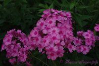 Флокс 'Некто в розовом' / Phlox 'Nekto v rozovom'