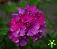 Сеянец флокса 'Ворожейка' / Phlox Seedling 'Vorogeyka'