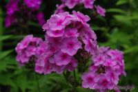 Сеянец флокса 'Розовый Дождь' / Phlox Seedling 'Rozovyi Dogd'