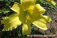 Лилейник 'Эмералд Айсл' / Hemerocallis 'Emerald Isle'