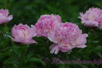 Пион травянистый 'Ангел Чикс' / Paeonia 'Angel Cheeks'