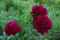 Пион травянистый 'Красный пик' / Paeonia 'Red Peak'