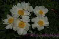 Пион травянистый 'Уайт Вингз' / Paeonia 'White Wings'