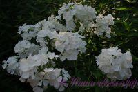 Сеянец флокса 'Эльбрус' / Phlox Seedling 'Elbrus'